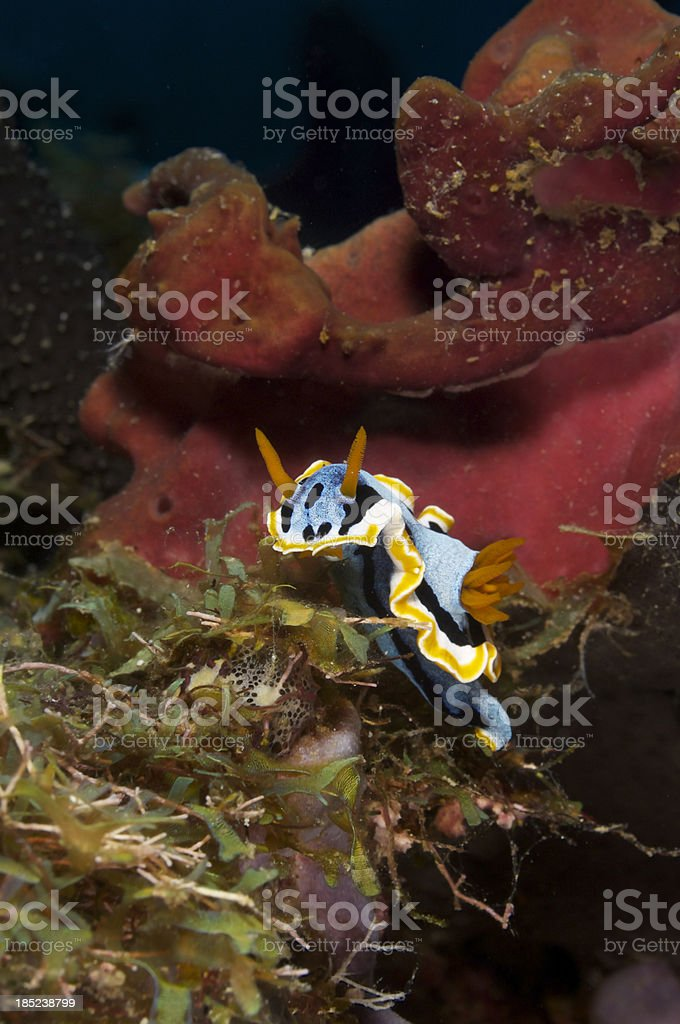 Nudibranch Chromodoris vertical stock photo