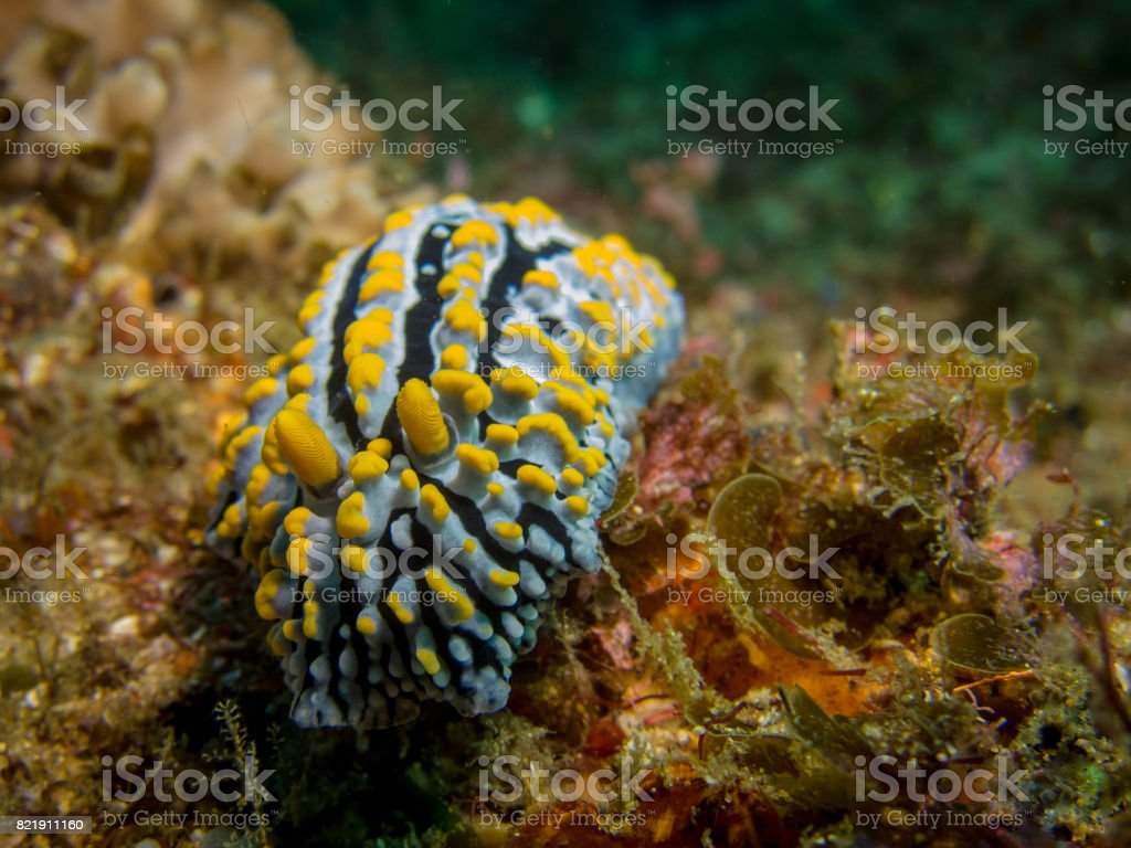 Nudibranch close-up (Varicose Phylidia) stock photo