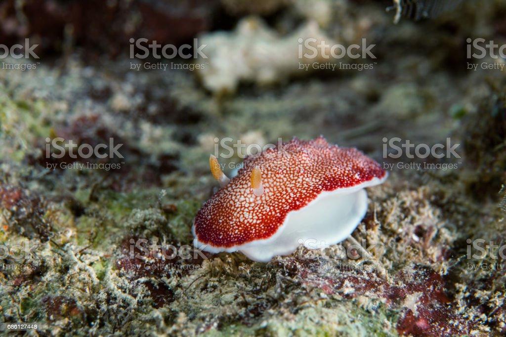 Nudibranch close-up. Sipadan island. Celebes sea. Malaysia. stock photo