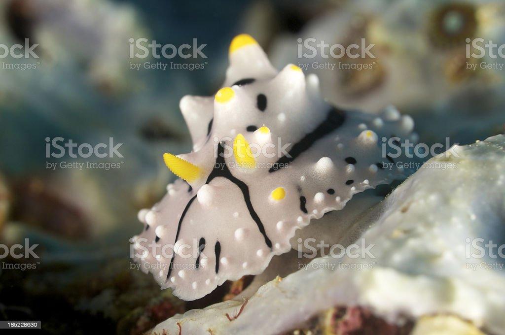 Nudibranch Elegant Phyllidia stock photo