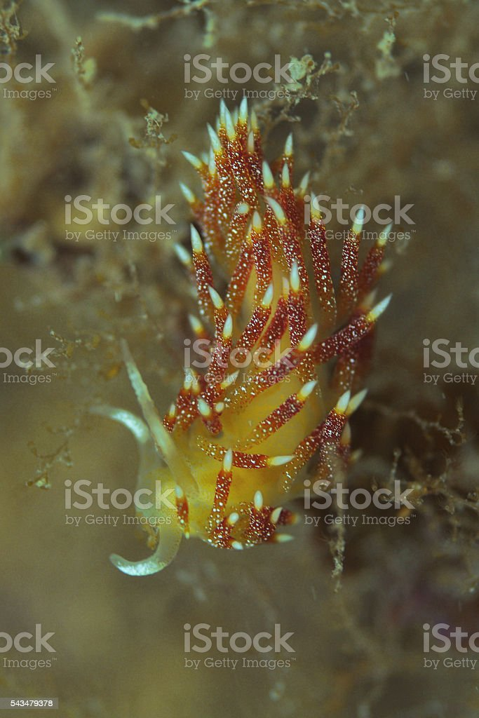 Nudibranch in ambient light stock photo