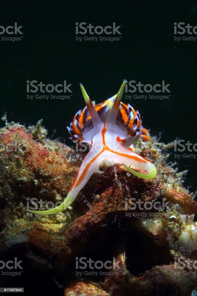 Nudibranch / Phidiana indica stock photo