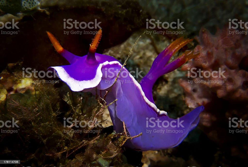 Nudibranch, Puerto Galera, Philippines royalty-free stock photo