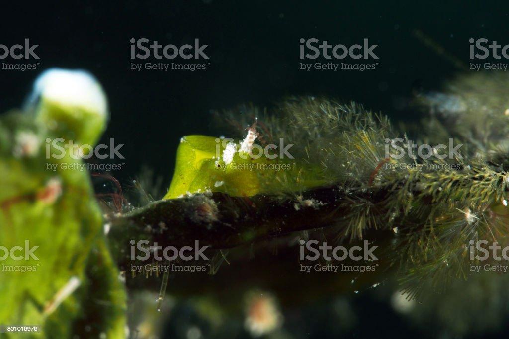 Nudibranch / Seaslug / Elysiella Pusilla stock photo