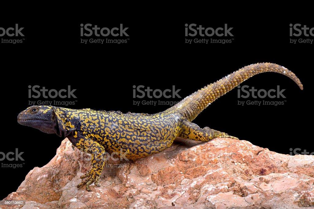 Nueguen mountain lizard (Phymaturus dorsimaculatus) stock photo