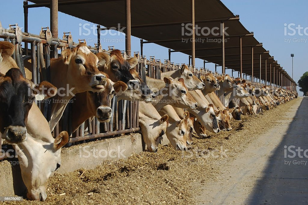 A number of dairy cows leaning out of the gates as they eat stock photo