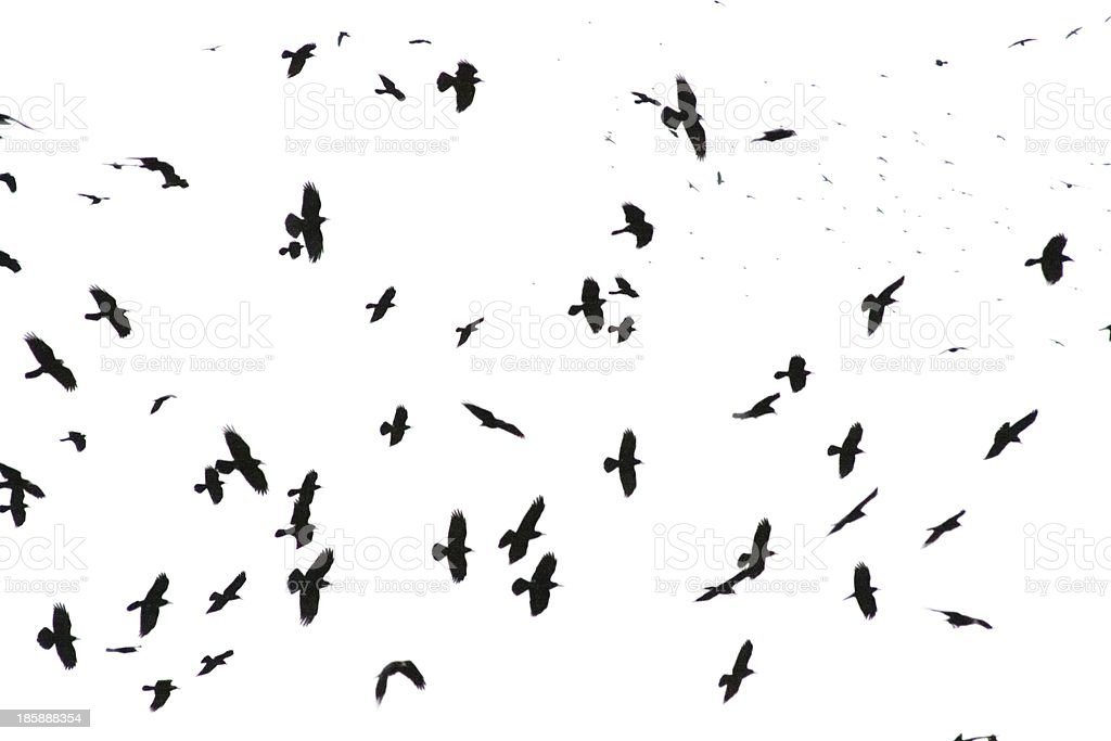 Numerous black crows flying against white stock photo