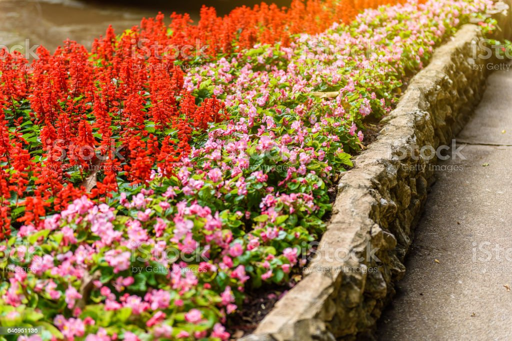 Numerous bright flowers of tuberous begonias (Begonia tuberhybrida) in garden stock photo