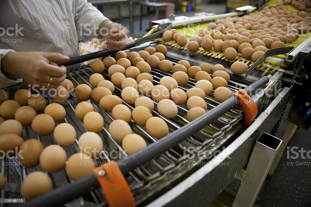 Numerous brown eggs sorted by man and machine stock photo