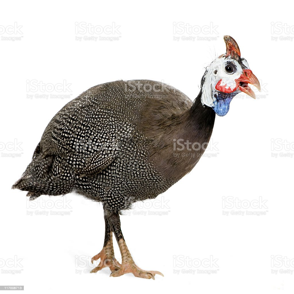 Numidia meleagris, a helmeted Guinea fowl isolated on white royalty-free stock photo