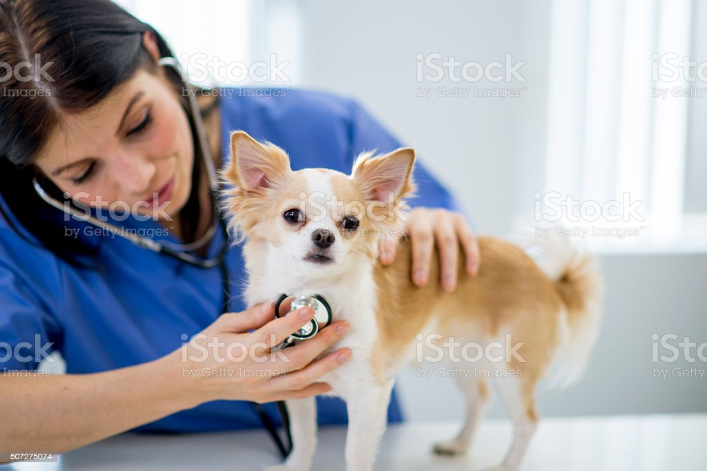 Nurse Listening to a Dog's Heartbeat stock photo