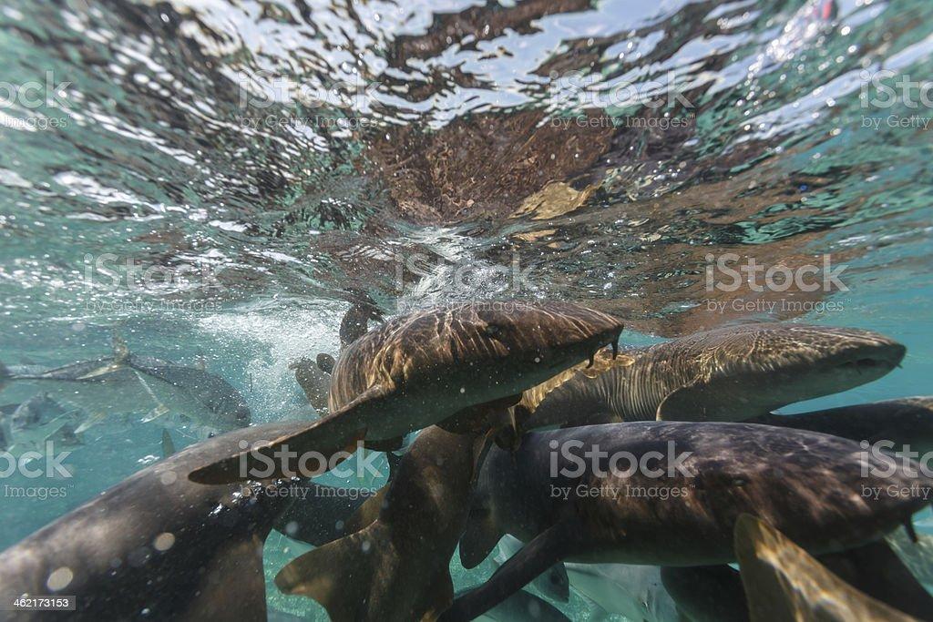 Nurse shark feeding frenzy in Hol Chan Marine Reserve Belize stock photo