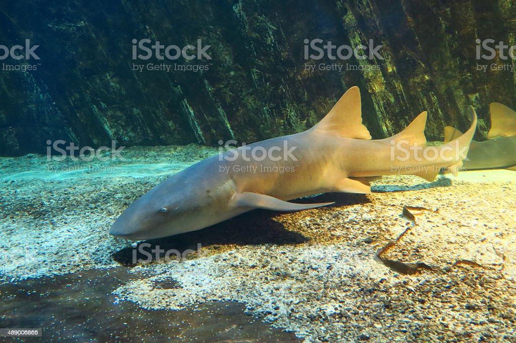 Nurse shark on the seabed stock photo