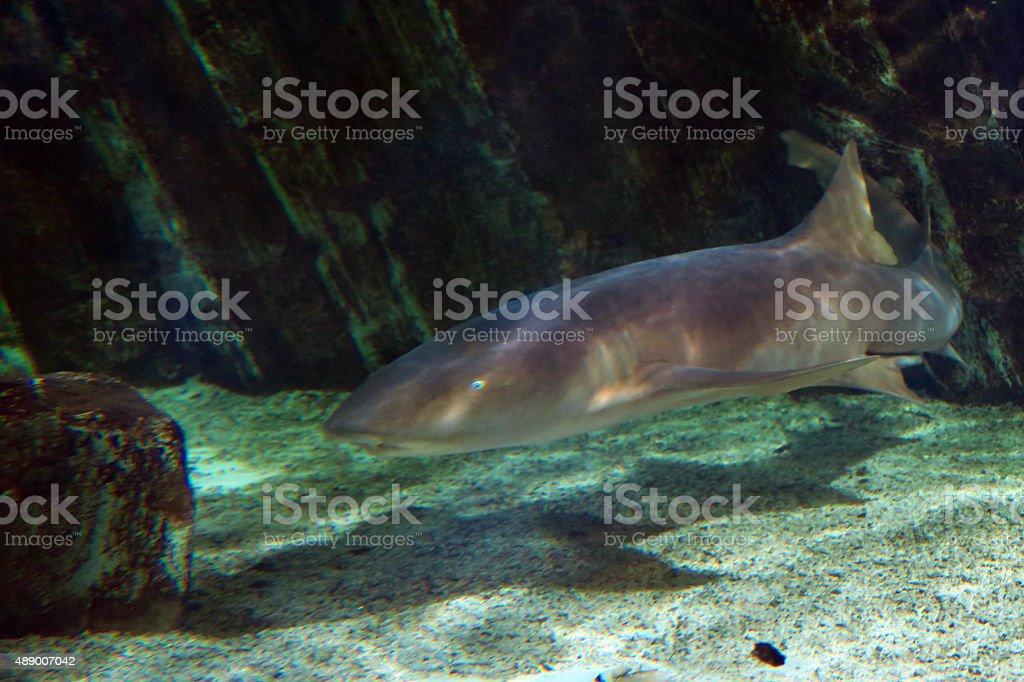Nurse shark stock photo