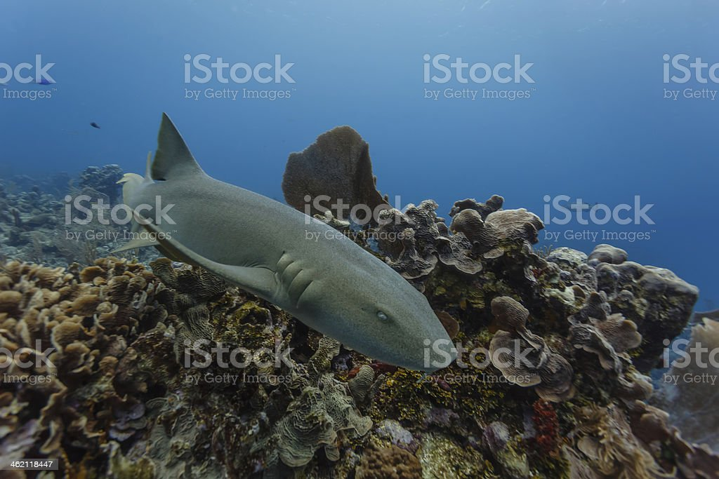 Nurse shark swimming on coral in Belizer stock photo