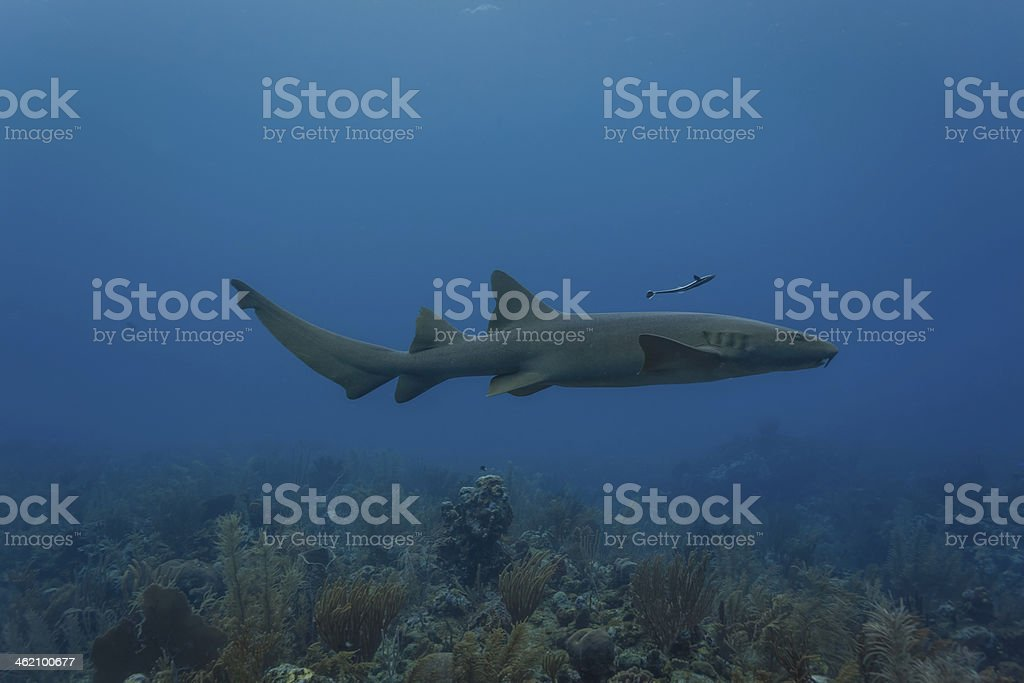Nurse shark swimming on coral reef in Caribbean stock photo