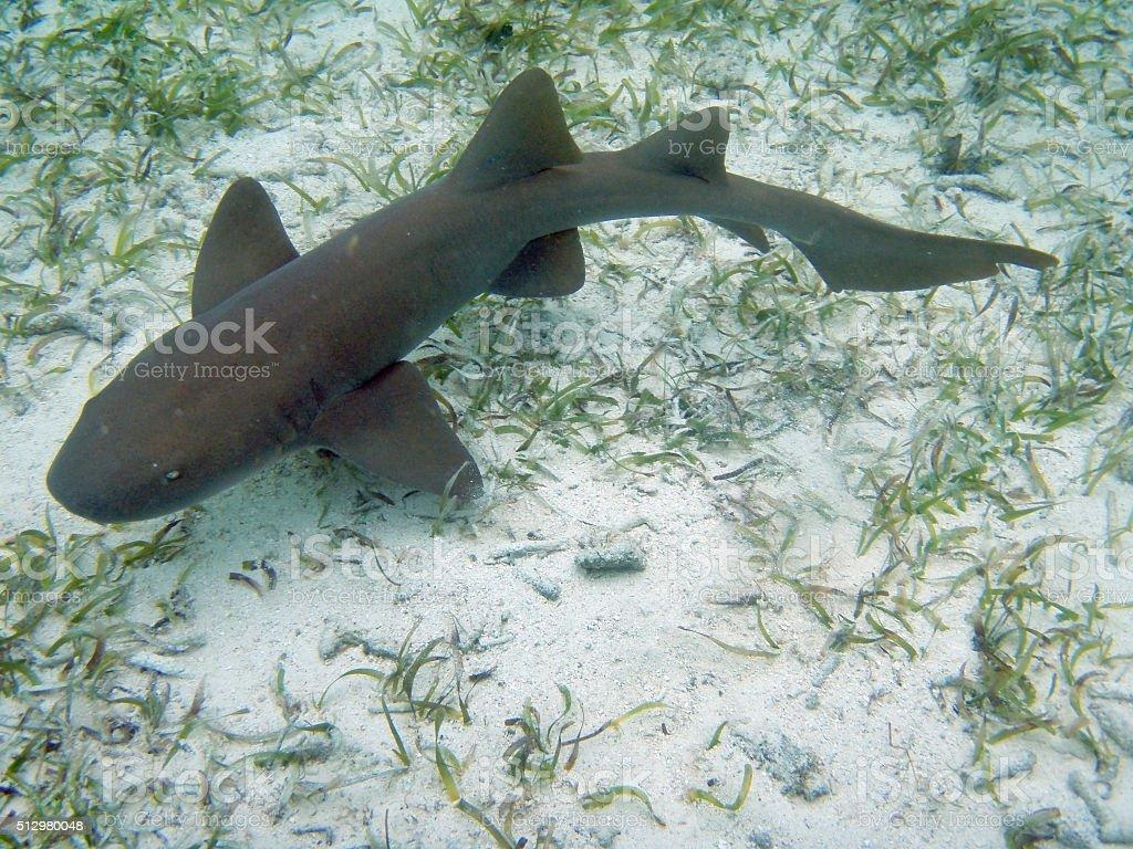 Nurse shark swims Hol Chan Reserve Ambergris Caye Belize stock photo