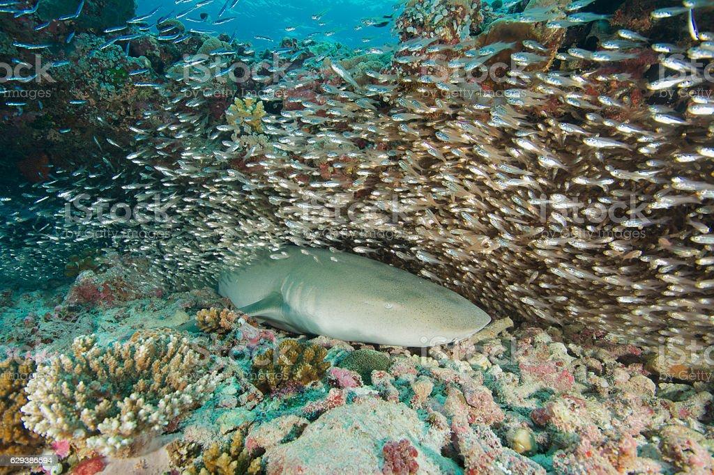 nurse shark with tiny fish stock photo