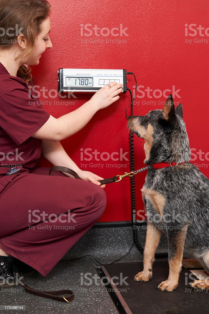 A nurse weighing a cute dog in the office stock photo