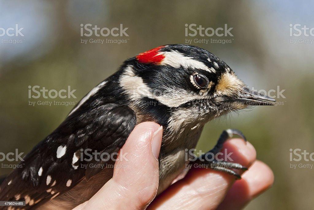 Nursing an Injured Downy Woodpecker stock photo