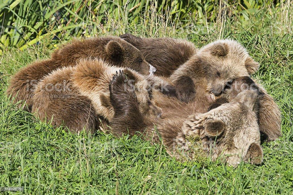 Nursing Brown Bear Mama stock photo
