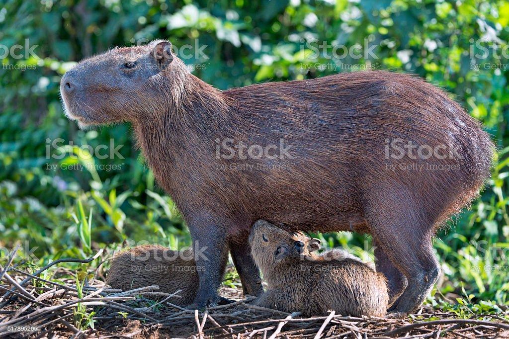 Nursing Mother Capybara stock photo