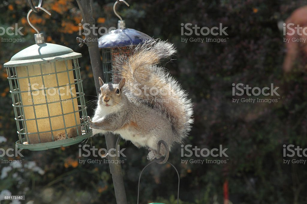 Nut thief stock photo