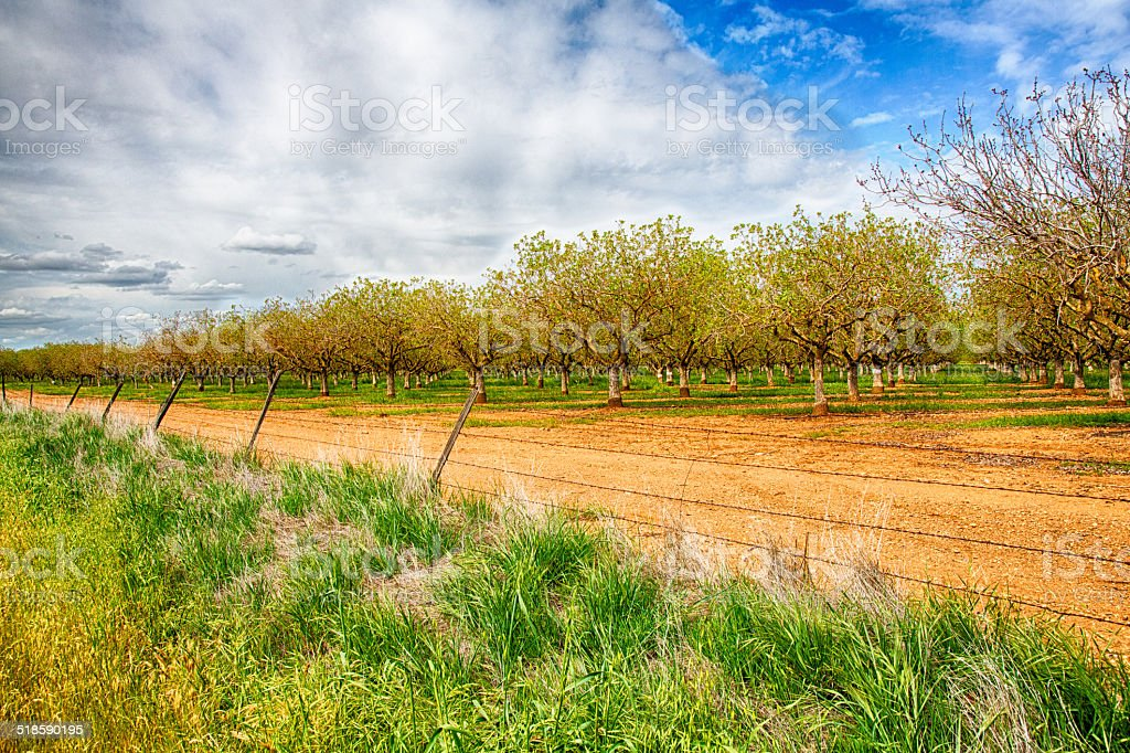 Nut Trees stock photo