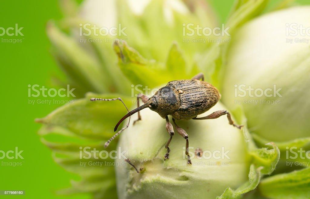 Nut weevil, Curculio nucum on hazelnut stock photo