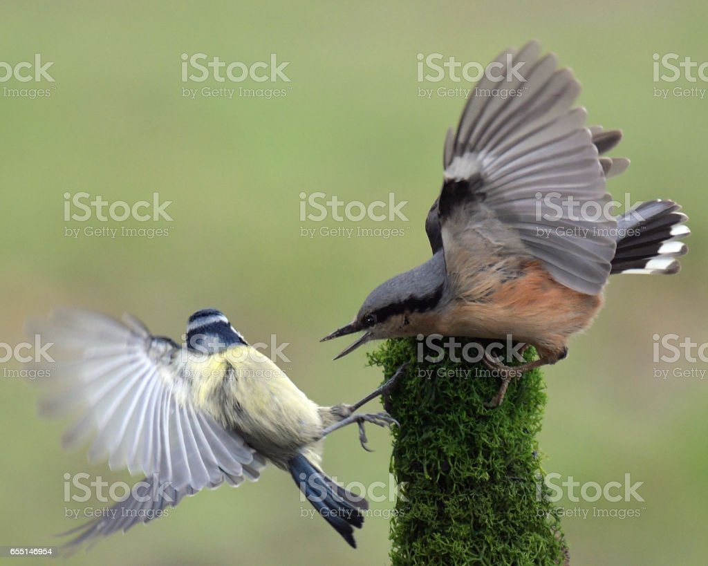 Nuthatch and Blue Tit stock photo