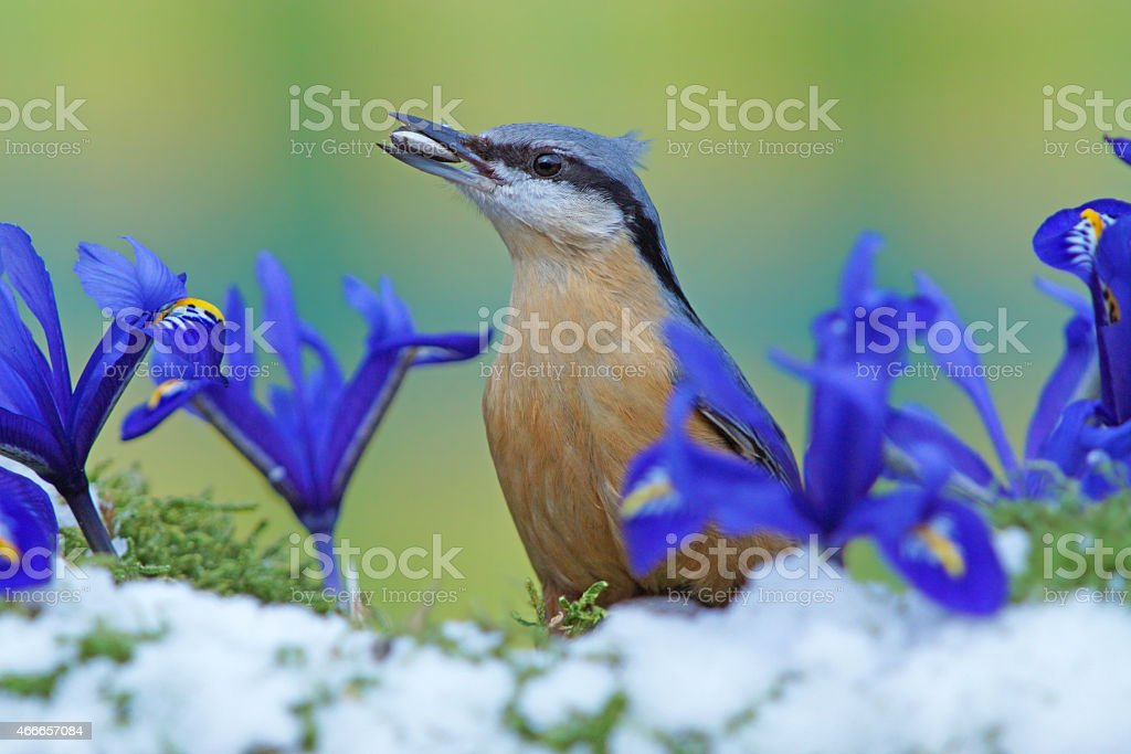 Nuthatch and iris flowers stock photo