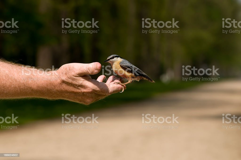 Nuthatch eats out of the hand - Trust is everything stock photo