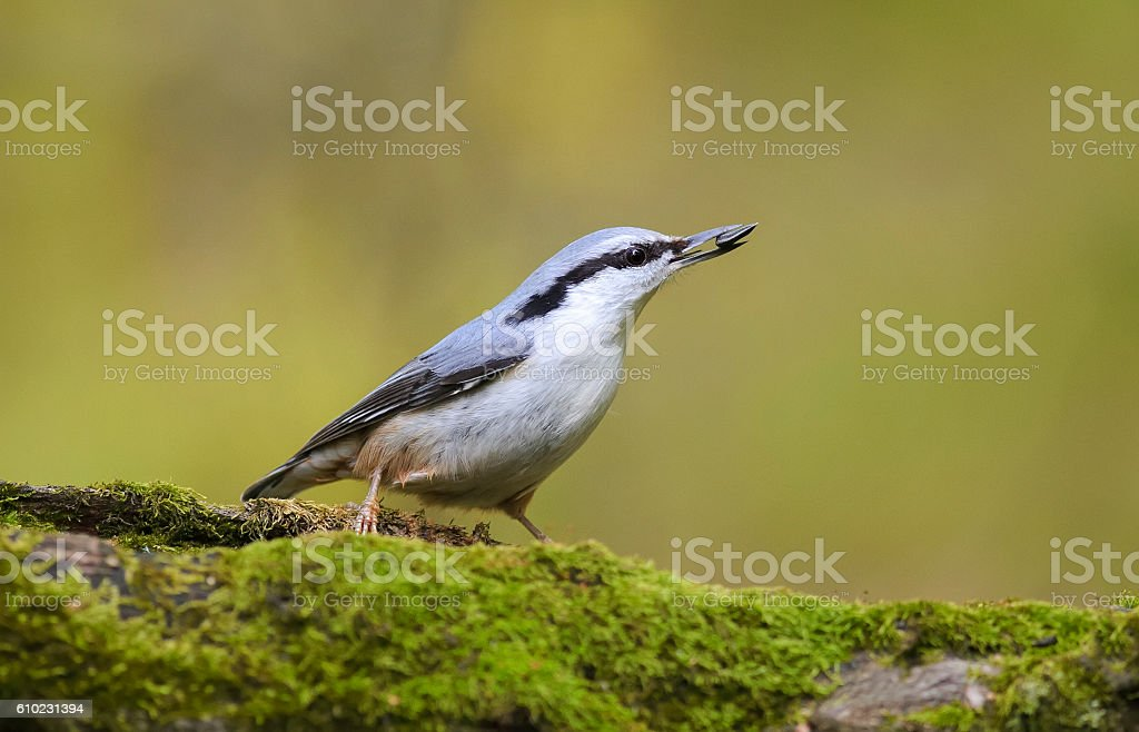 nuthatch hiding seeds in the tree covered with moss stock photo