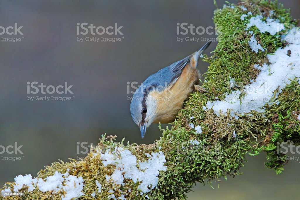 Nuthatch in wintertime stock photo