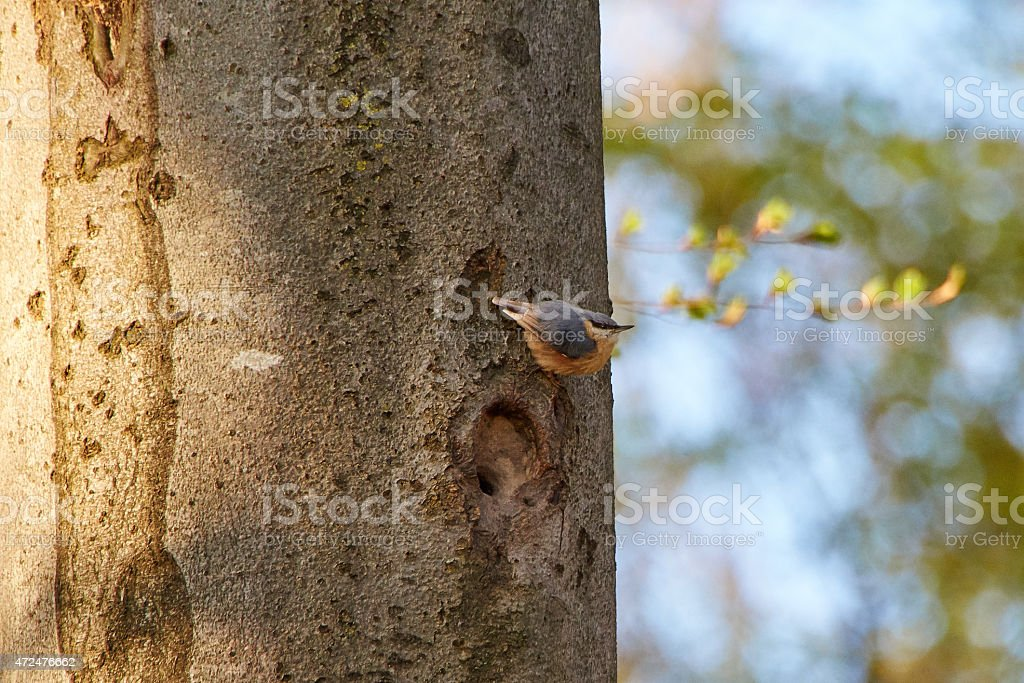 Nuthatch on a beech tree in european forest stock photo
