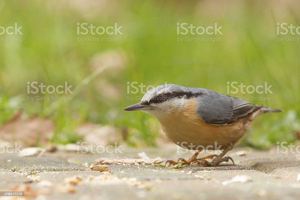 Nuthatch on the ground stock photo