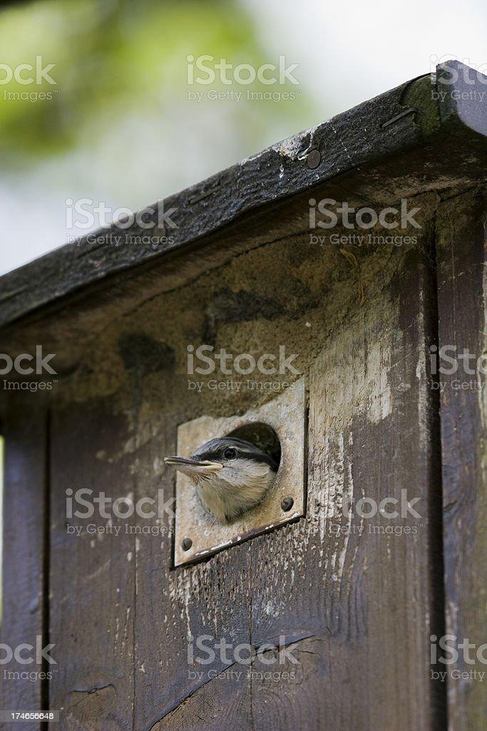 Nuthatch stock photo