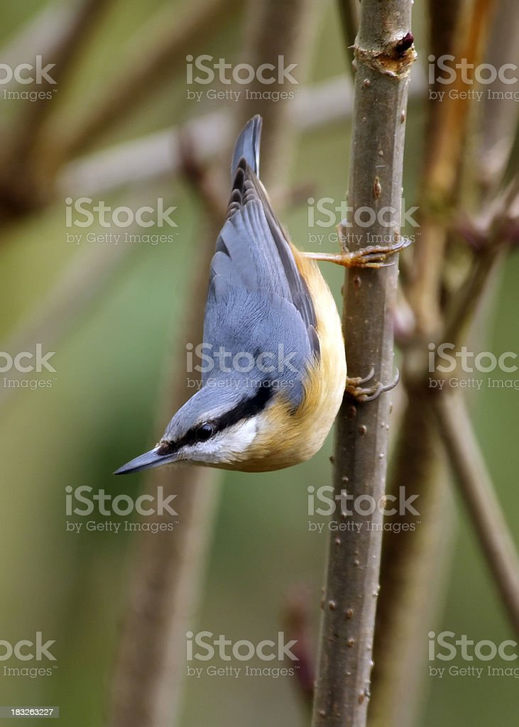 Nuthatch (Sitta europaea) royalty-free stock photo