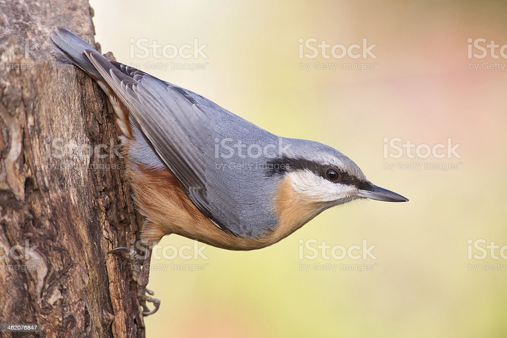 Nuthatch stock photo