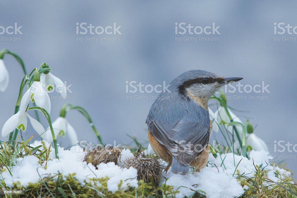 Nuthatch with snowdrops stock photo