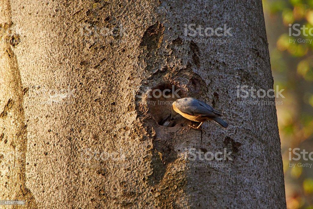 nuthatch woodpecker on his breeding burrow stock photo