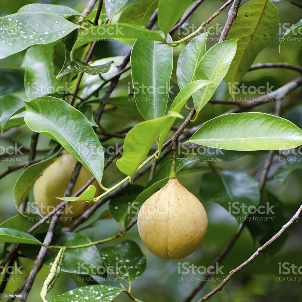 nutmeg, Myristica fragrans, fruit on tree stock photo