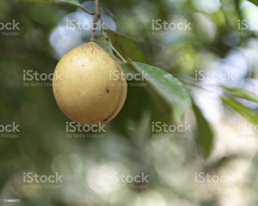 Nutmeg plant royalty-free stock photo