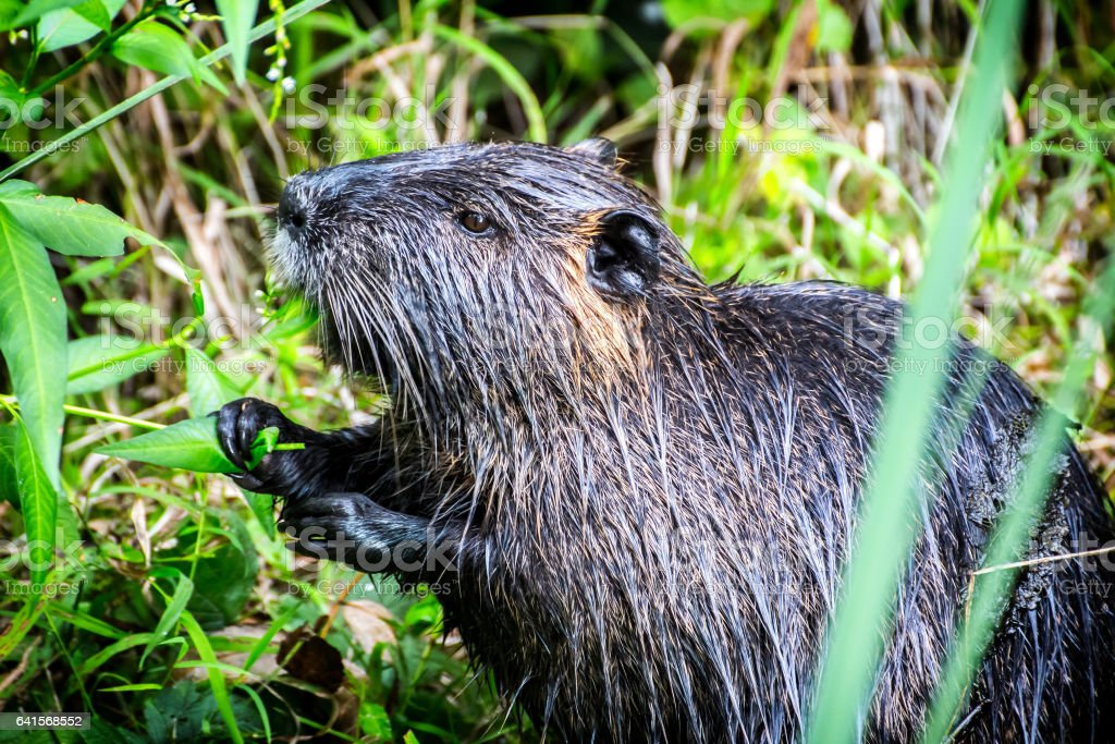 Nutria (Myocastor Coypus) animal close-up in wild nature in french swamps stock photo