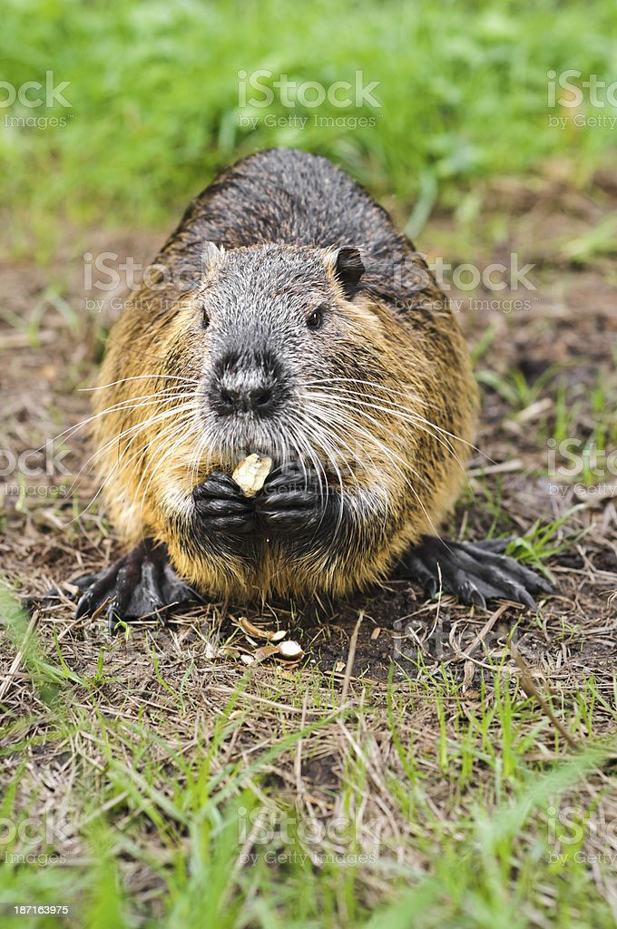 Nutria eating an acorn. royalty-free stock photo