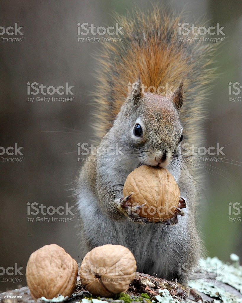 Nuts For Squirrels stock photo