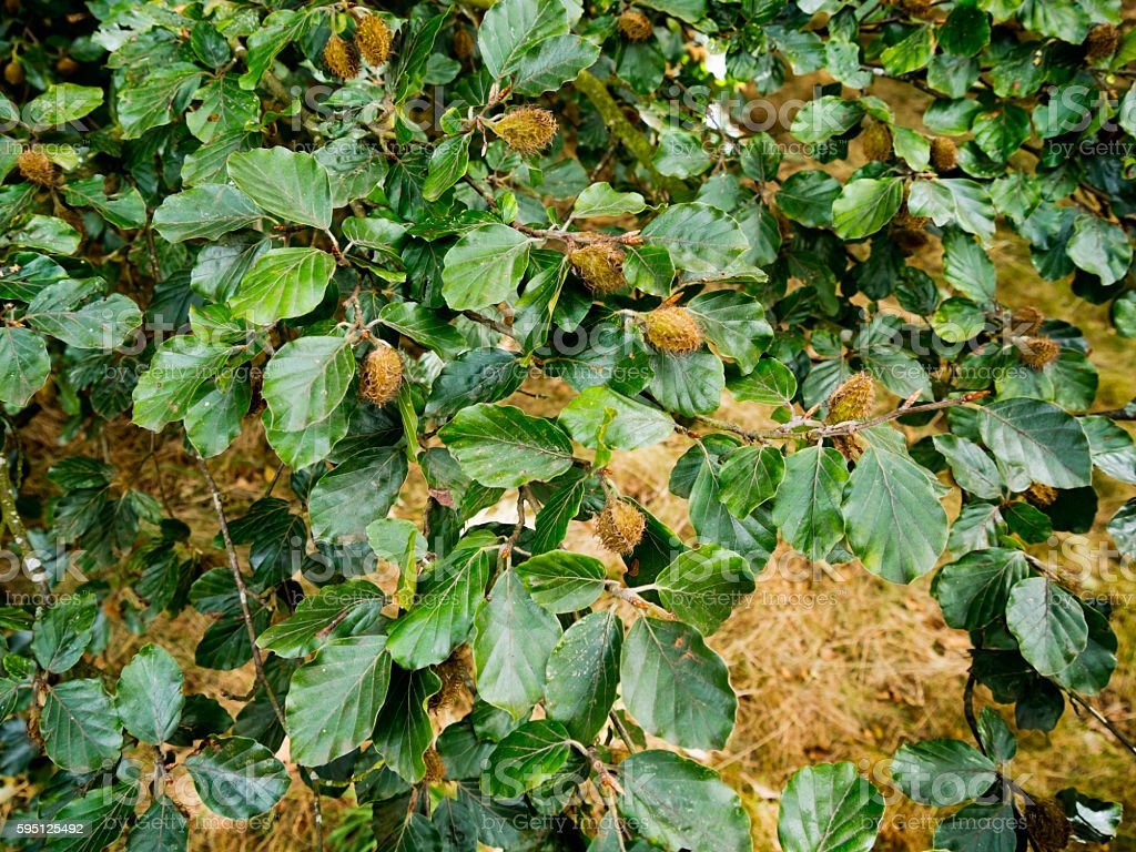 Nuts on a beech tree stock photo