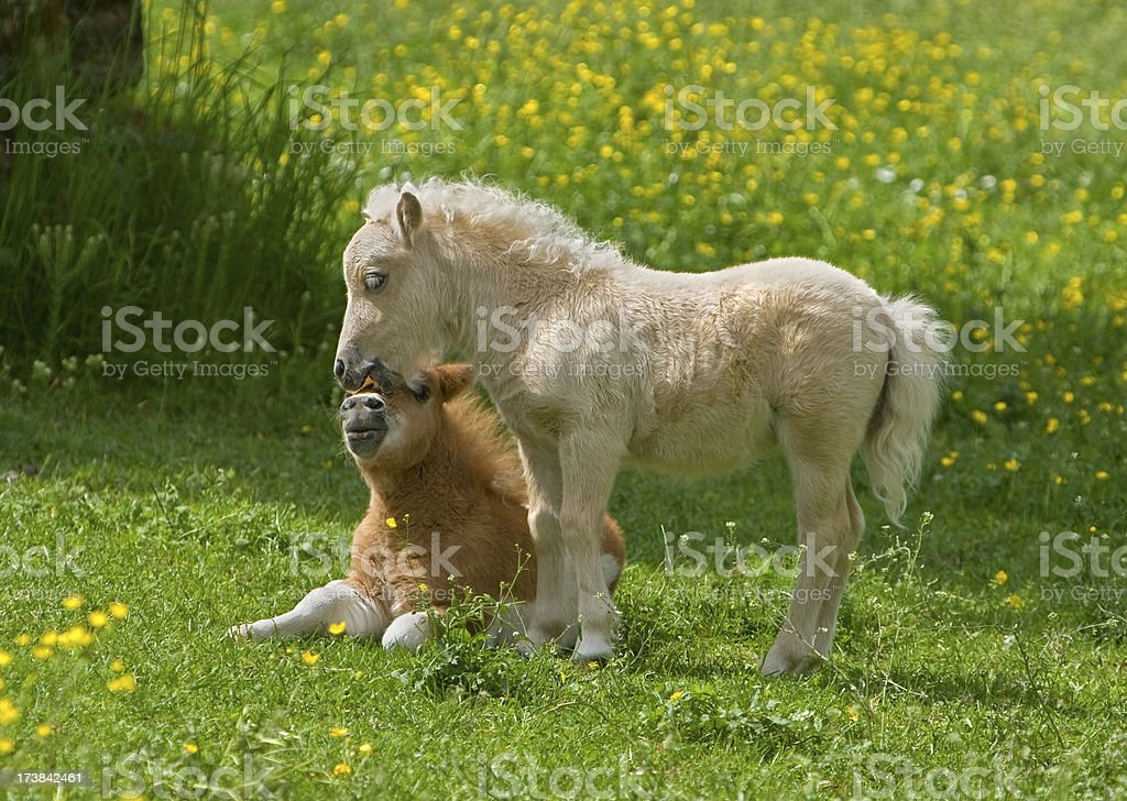 Nuzzling Falabella Foals royalty-free stock photo