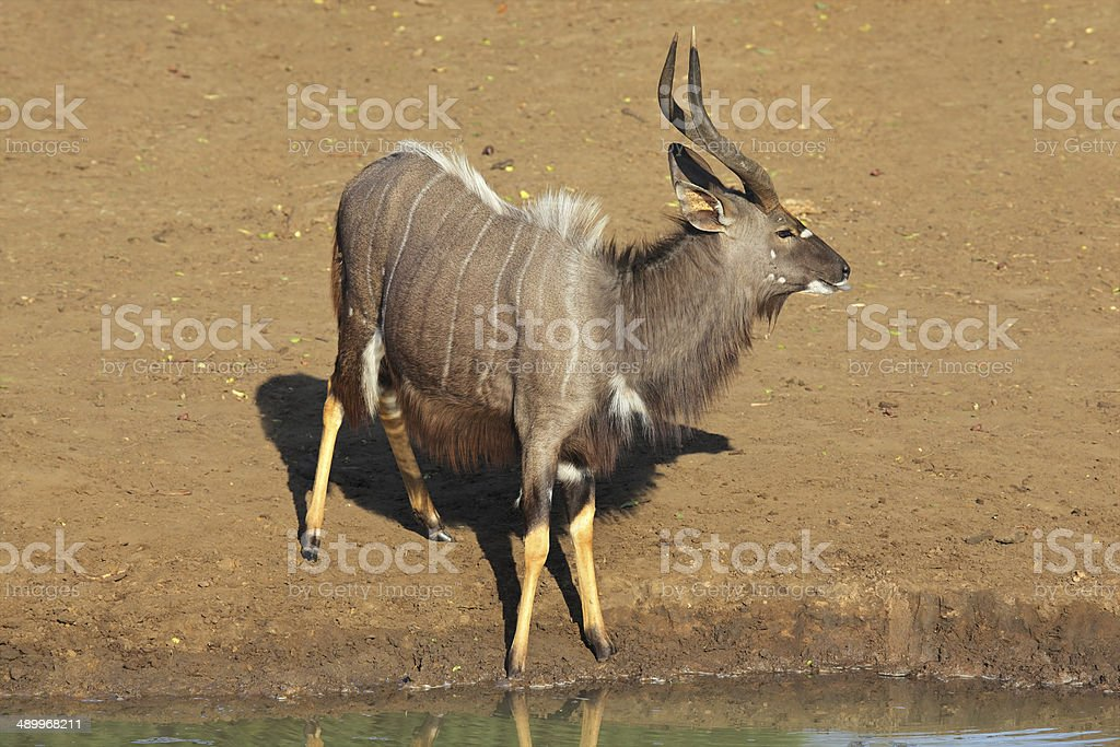 Nyala antelope at waterhole stock photo