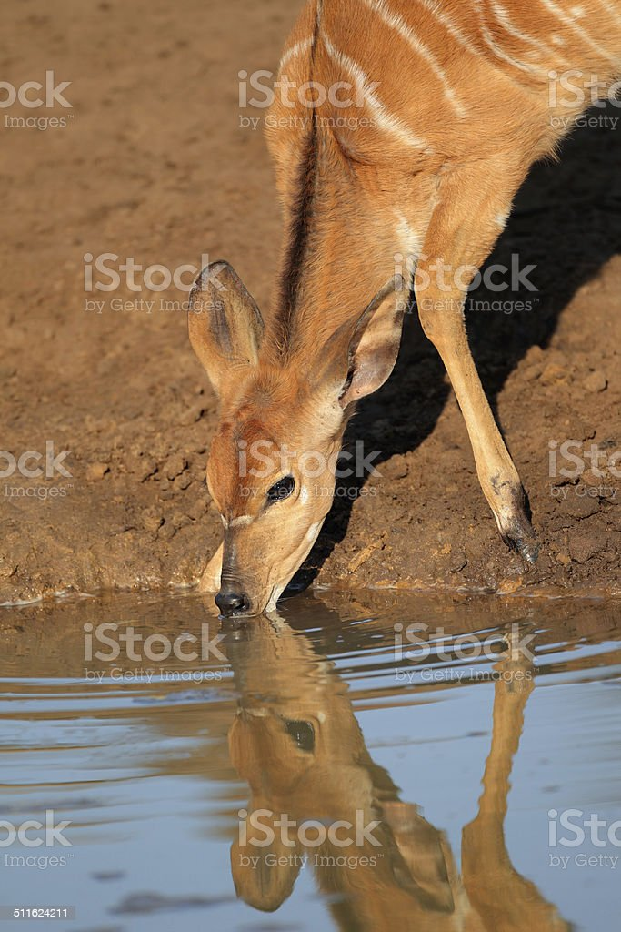 Nyala antelope drinking stock photo